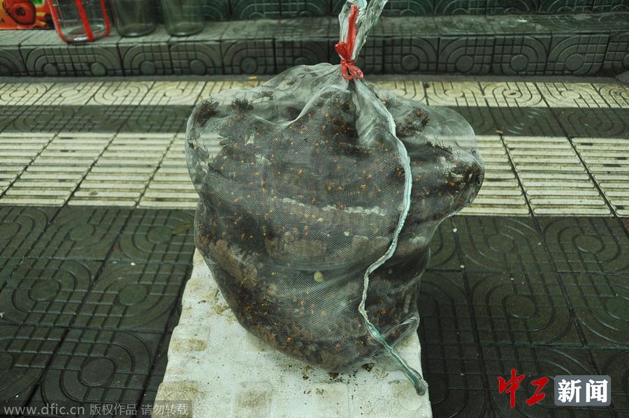 发现罕见巨大 虎头蜂 蜂窝 重达15公斤 高清组图
