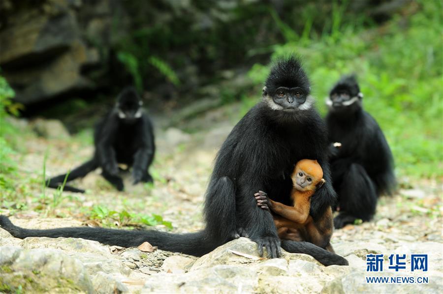 (環境)(1)麻陽河保護區:黑葉猴喜添丁