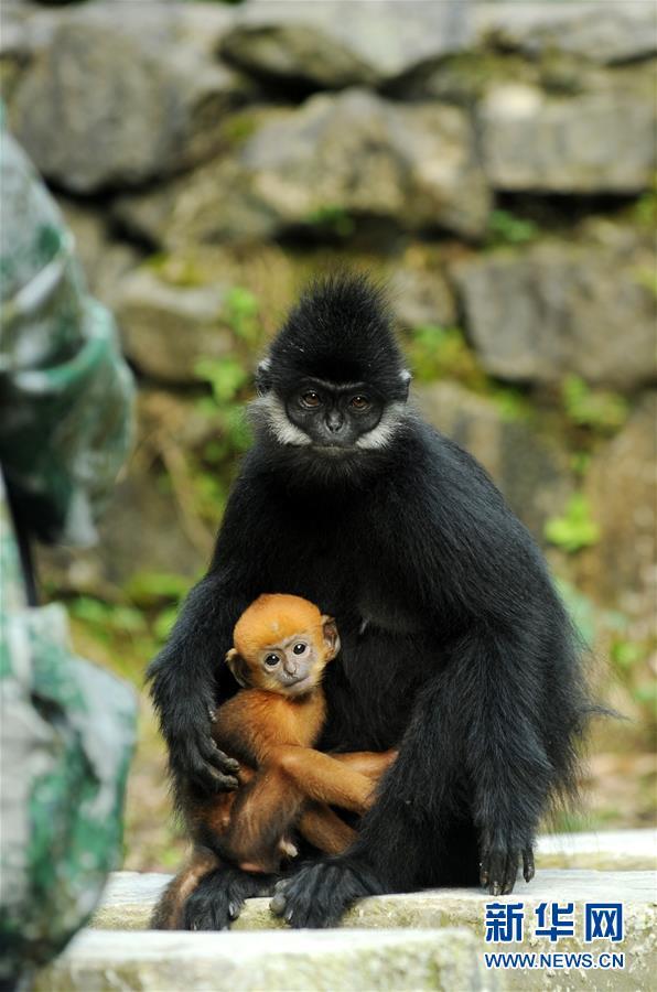(環境)(2)麻陽河保護區:黑葉猴喜添丁