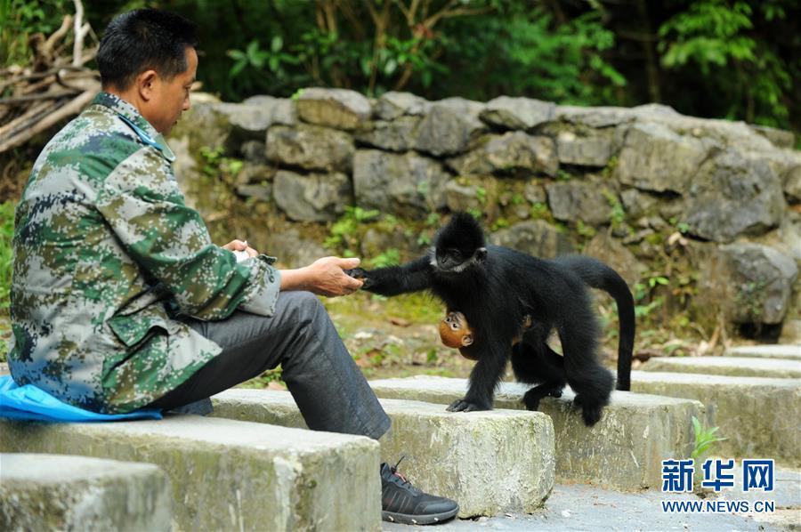 (環境)(6)麻陽河保護區:黑葉猴喜添丁
