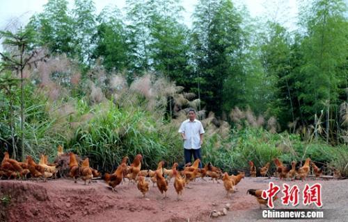 武平縣萬安鎮捷文村林農李桂林在餵養林下養殖的本地土雞。王發祥 攝