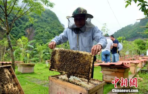 武平縣林下經濟脫貧示範戶王瑞保在管理林下經濟中花蜜蜂。王發祥 攝<p align=