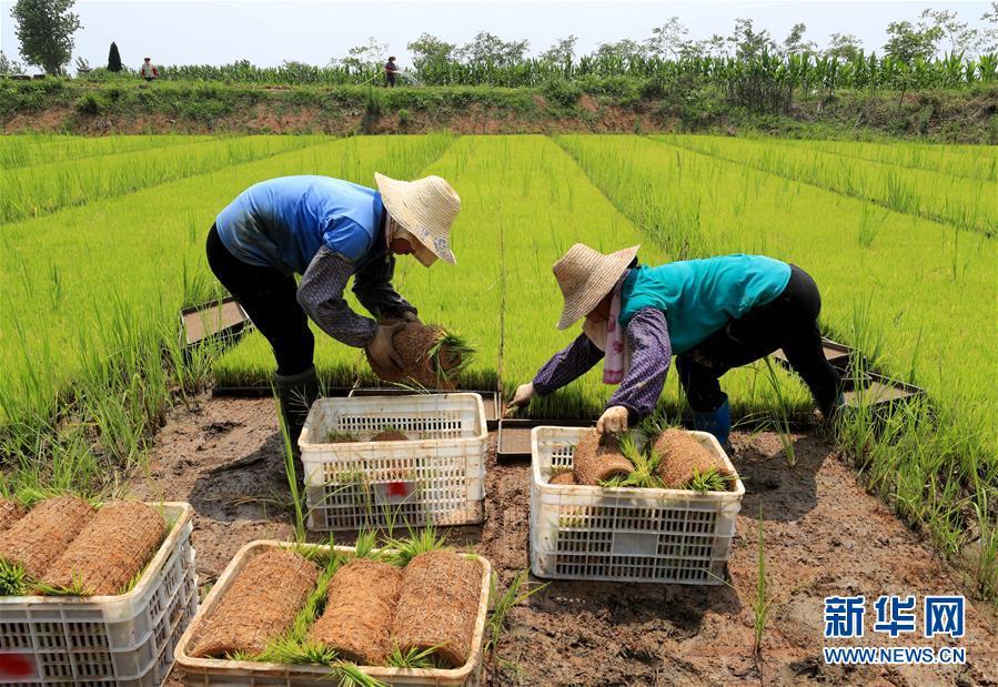 #(經濟)(2)規模化育秧助農增收