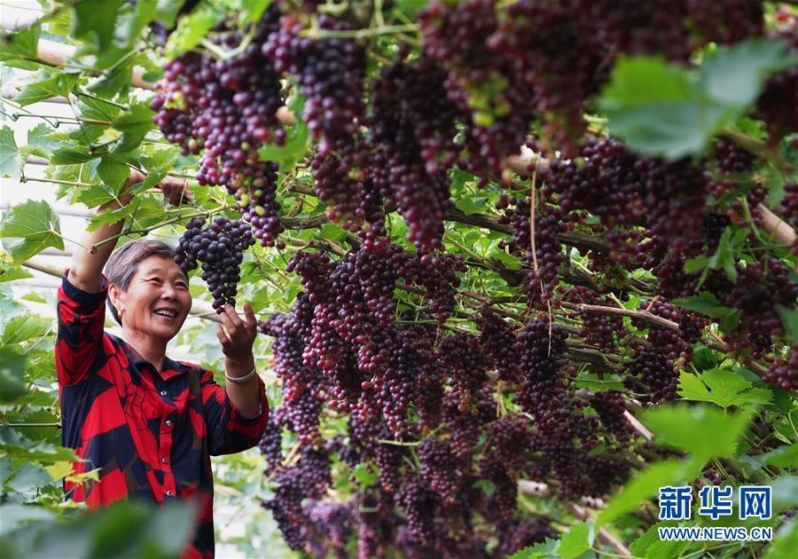 (經濟)(2)河北唐山:趙灘葡萄好