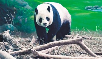 """台北动物园实施人工授精 赠台大熊猫""""圆圆""""有望再孕(图)"""