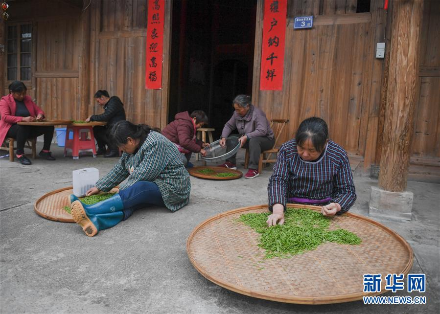 一片茶叶凝聚一个村庄