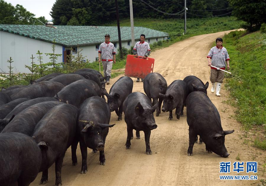 吉林抚松:智能养猪