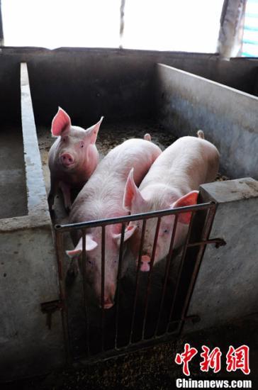 白金会娱乐官方:积极稳妥开展生猪活体抵押贷款试点(图