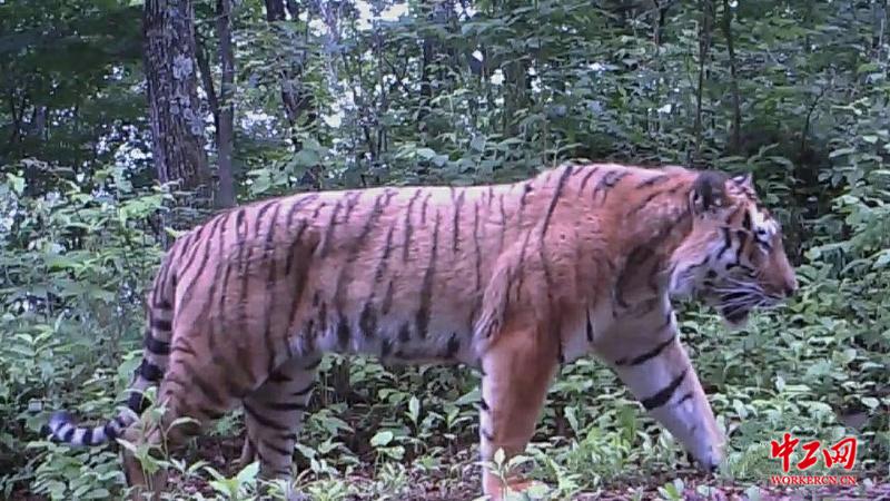 """东北虎豹国家公园试点两年实现了人虎""""两安全"""
