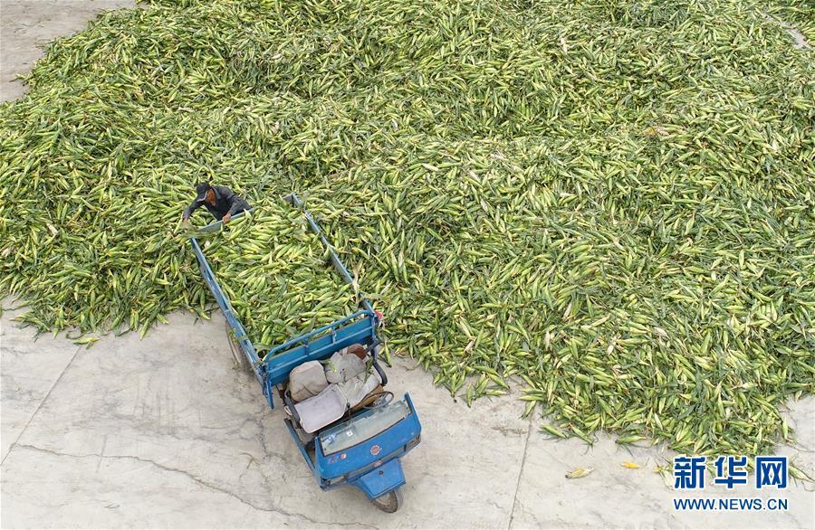 河北唐山:水果玉米收获忙
